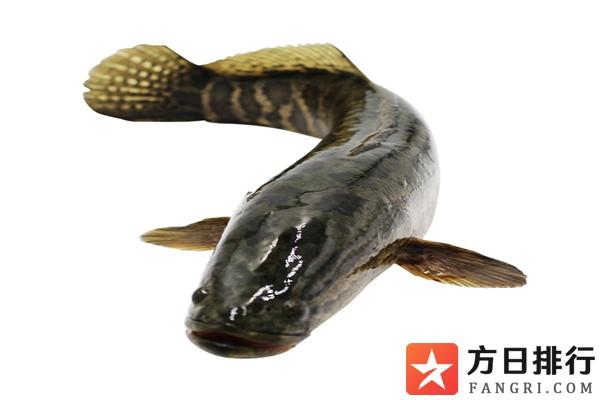 黑鱼身上粘液怎么洗才干净 黑鱼身上的粘液可以吃吗