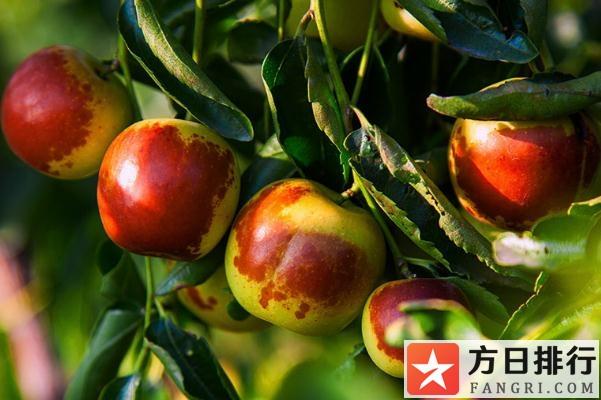 冬枣有哪些品种 冬枣有什么营养